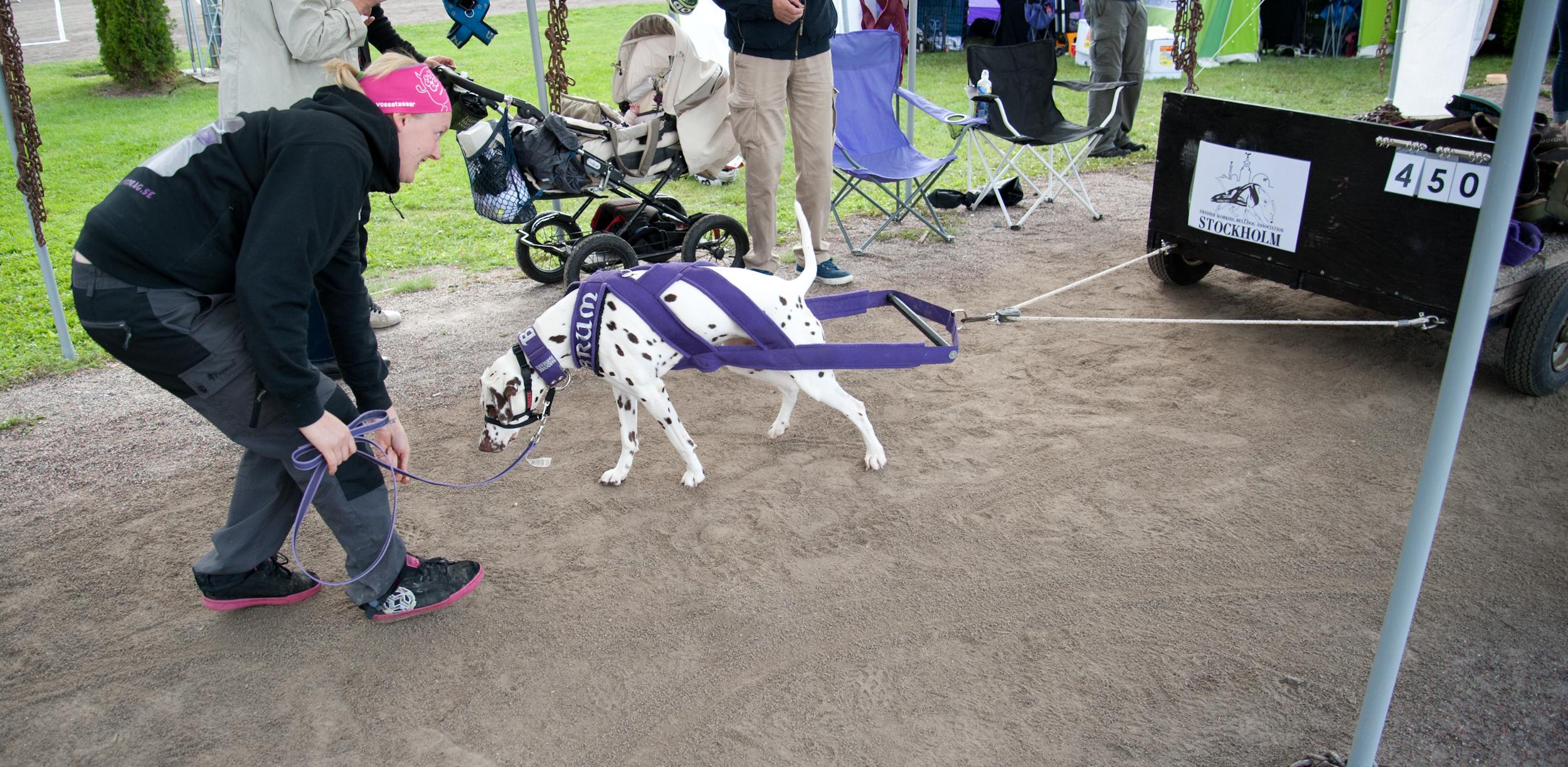 Weightpulling med dalmatiner